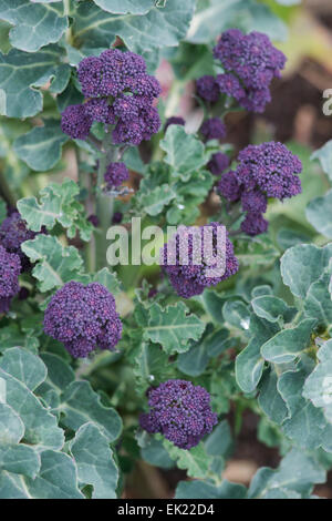 Early purple sprouting broccoli - Stock Photo