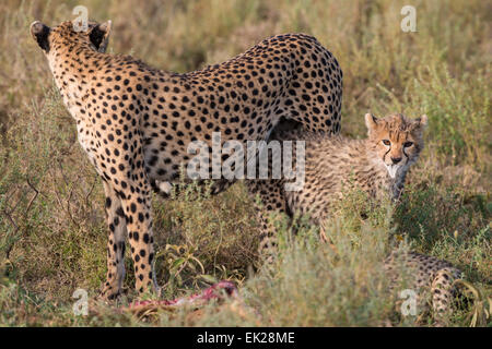 Cheetah mom and cub near kill, Tanzania.  The cub is holding the ear of the gazelle in his mouth. - Stock Photo