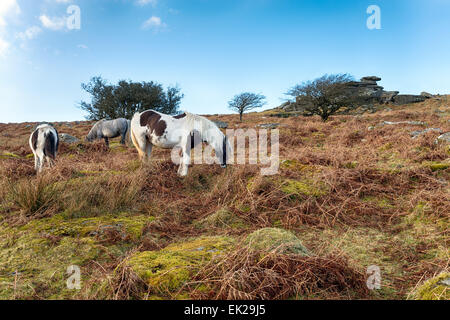 Moorland ponies grazing on Sharp Tor on Bodmin Moor in Cornwall - Stock Photo