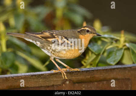 Female Varied Thrush (Ixoreus naevius) perched on the back of a bench in winter in my backyard in Issaquah, WA Stock Photo