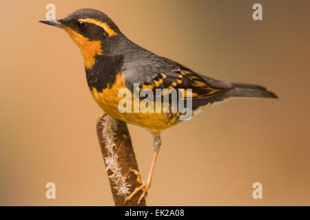 Varied Thrush () perched on a cattail in Issaquah, Washington, USA - Stock Photo