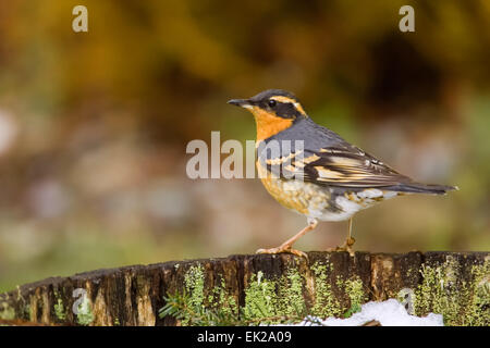 Varied Thrush (Ixoreus naevius) perched on the edge of a wine barrel with snow in it in a backyard in Issaquah, - Stock Photo