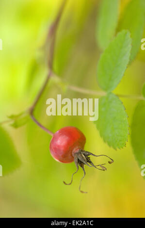 Wild rose hip close-up near Hood River, Oregon, USA.  The rose hip, also known as rose haw or rose hep, is the fruit - Stock Photo