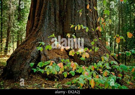 Large Giant Sequoia (Sequoiadendron giganteum) and small Pacific Dogwood (Cornus nuttallii) trees in Dorrington, - Stock Photo