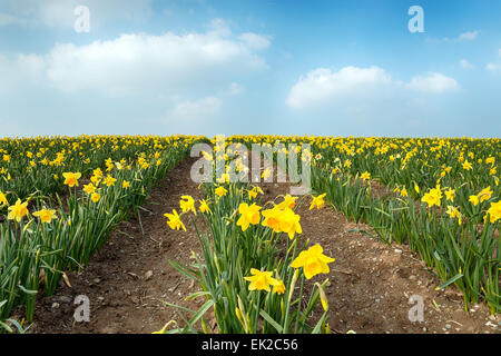 Rows of yellow Daffodils in a field - Stock Photo