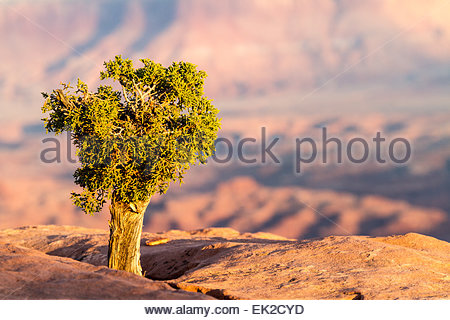 A single juniper tree grows in a crack of sandstone above the canyons of Canyonlands National Park - Utah - USA - Stock Photo