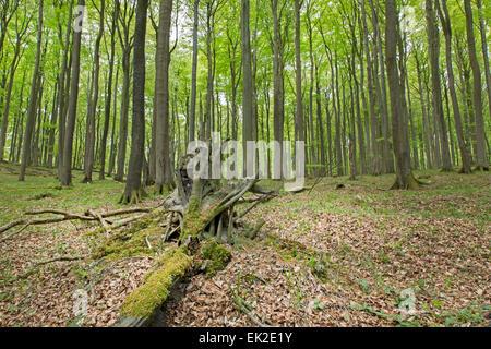 Beech forest (Fagus sylvatica), Jasmund National Park, UNESCO World Heritage Site, Rügen, Mecklenburg-Western Pomerania, - Stock Photo