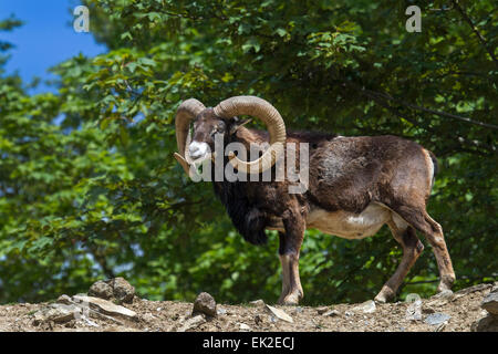 European mouflon ram / Ovis orientalis musimon - Stock Photo