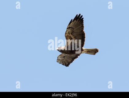 Female Northern Harrier (Circus cyaneus) in flight in northern Utah - Stock Photo