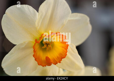 Spring flowers white Narcissus daffodil bunch flowers - Stock Photo