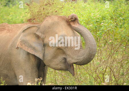 Udawalawe National Park, Sri Lanka. Elephant throwing dirt on itself - Stock Photo