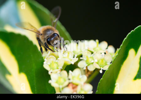 A bee extracting pollen from a flower - Stock Photo