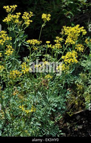 Common rue / Herb-of-grace (Ruta graveolens) in flower - Stock Photo