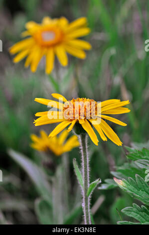 Leopard's bane / mountain arnica / wolf's bane (Arnica montana) in flower - Stock Photo