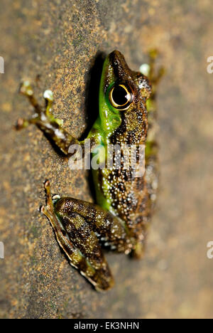 Black-spotted Rock Frog (Staurois guttatus) on moss in Kubah national park, Sarawak, Malaysia, Borneo - Stock Photo