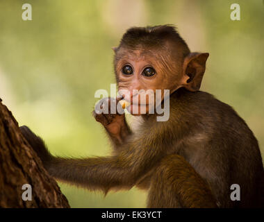 A very young toque macaque (Macaca sinica), enjoying a snack nearby the ruins in Polonnaruwa, Sri Lanka. - Stock Photo