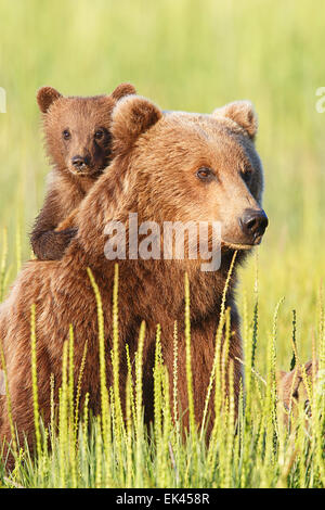 Brown / Grizzly Bear, Lake Clark National Park, Alaska - Stock Photo