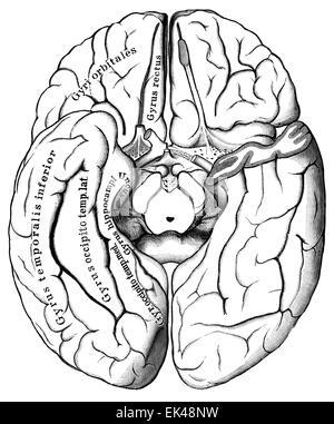 The human brain seen from below, - Stock Photo