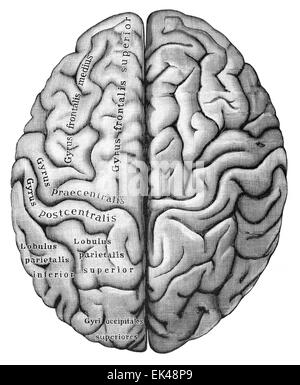 The human cerebrum seen from above, - Stock Photo