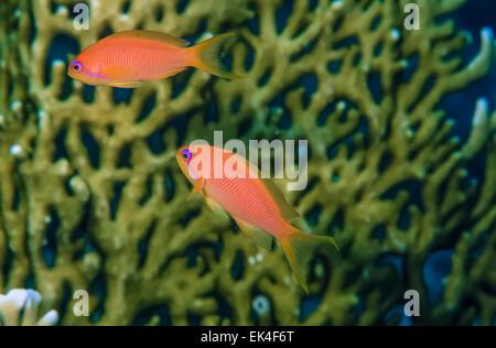 SUDAN, Red Sea, U.W. photo, tropical Anthias (Pseudanthias pleurotaenia) and fire coral in the background - Stock Photo