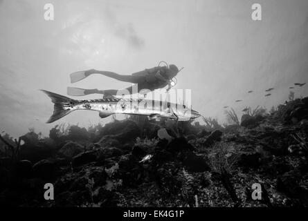 Caribbean Sea, Cayman Islands, U.W. photo, diver and a Great Barracuda - FILM SCAN - Stock Photo