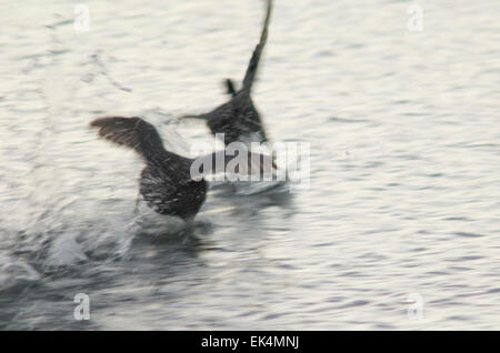 Eurasian coot (Fulica atra) chasing to another one. El Fraile lagoon. Arona. Tenerife. Canary Islands. Spain. - Stock Photo