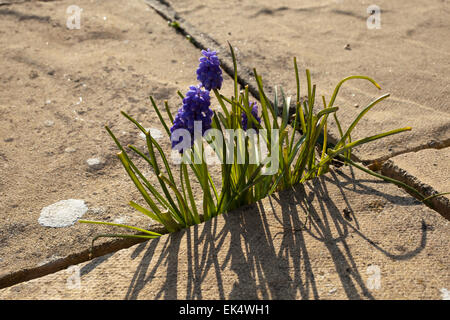 Muscari or Grape Hyacinth flowers growing between paving slabs on a patio outside a house in Cornwall - Stock Photo