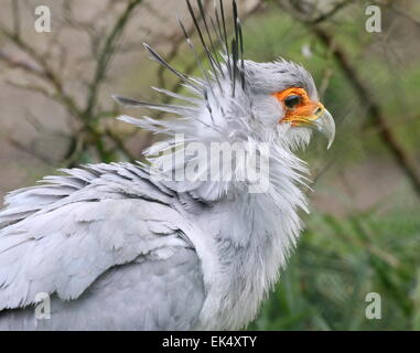 African Secretary bird (Sagittarius serpentarius) close-up of the head - Stock Photo