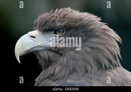 Male European White-tailed Sea Eagle (Haliaeetus albicilla), close-up of the head and powerful beak - Stock Photo