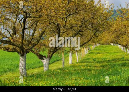 Wachau Marillenbaeume - Wachau apricot trees 05 - Stock Photo