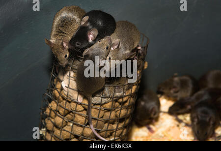 Containers to breed rats and mice, food captive raptors AMUS Center wildlife recovery - Stock Photo
