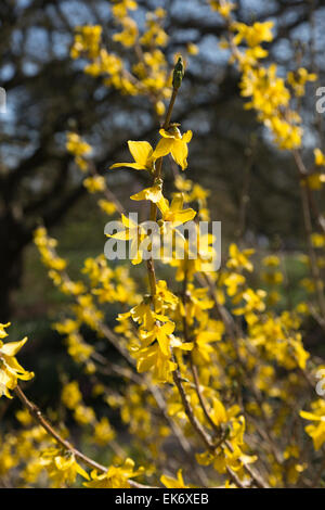 Yellow springtime flowers of Forsythia × intermedia, or Border Forsythia, 'Arnold Giant' at RHS Garden, Wisley, - Stock Photo