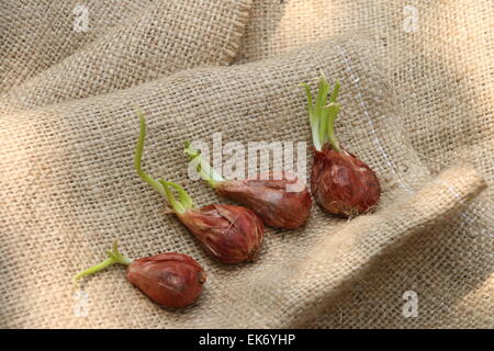Four sprouting shallots laid flat in a row, on a sackcloth - Stock Photo