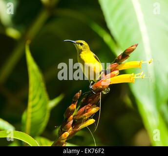 Female Yellow-bellied Sunbird or Olive-backed Sunbird (Nectarinia jugularis or Cinnyris jugularis) perching on flowers, - Stock Photo