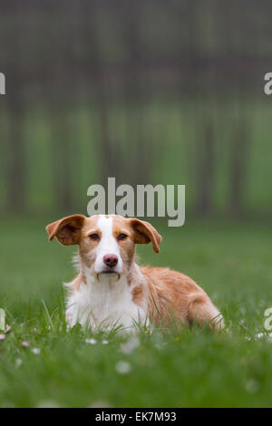 Andalusian Hound Adult dog sitting meadow Germany - Stock Photo