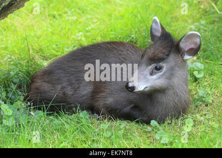 Tufted Deer Elaphodus cephalophus Juvenile lying down - Stock Photo