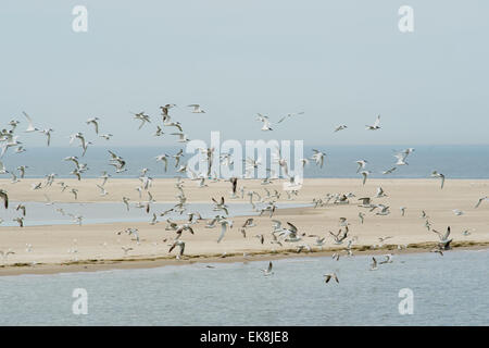 Many flying seagulls above the Dutch wadden sea - Stock Photo