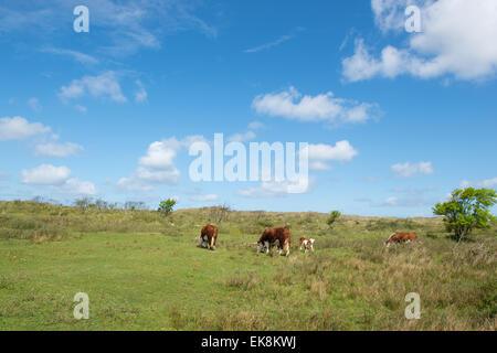 Grazing Hereford cows on Dutch wadden island Terschelling - Stock Photo