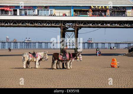 Blackpool, Lancashire: Donkey ride operator on the beach waiting for customers - Stock Photo