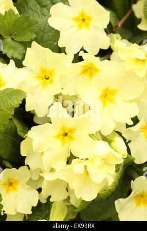 English Primrose Yellow Garden Primrose Spring Flowering Plant