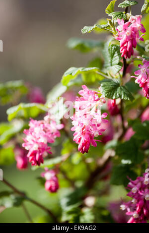 Ribes sanguineum, flowering currant or red-flowering currant in bloom - Stock Photo