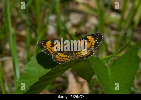 Silvery Checkerspot in Wisconsin perched on a plant in the summer. - Stock Photo