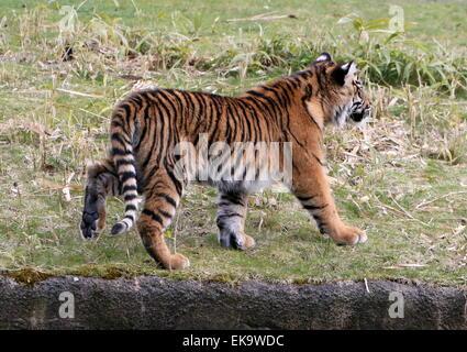 Sumatran Tiger cub (Panthera tigris sumatrae), 6 months old - Stock Photo