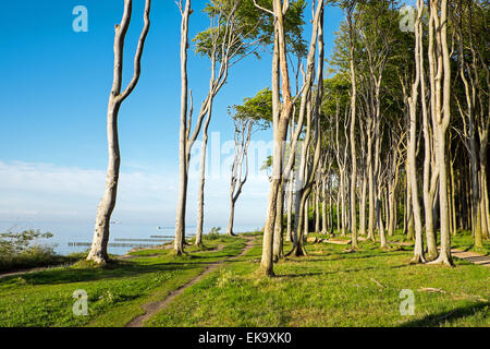 Coastal forest at the Baltic Sea in Germany - Stock Photo