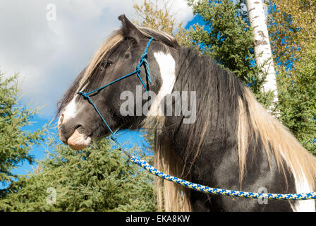 Drum horse stallion, Equus ferus, with halter on standing in a farmyard against poplar and spruce trees - Stock Photo