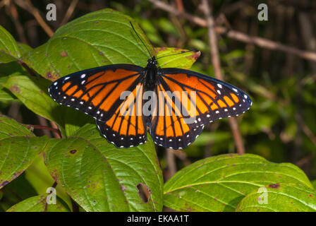 The viceroy butterfly, Limenitis archippus, a Mullerian mimic of the monarch butterfly, Little Cataraqui Conservation - Stock Photo