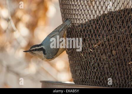 Red-breasted nuthatch, Sitta canadensis, at backyard seed feeder - Stock Photo