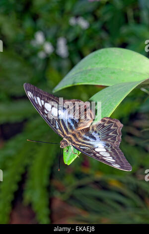 Parthenos sylvia lilacinus - Blue Clipper - nymphalid butterfly from Southeast Asia - Stock Photo