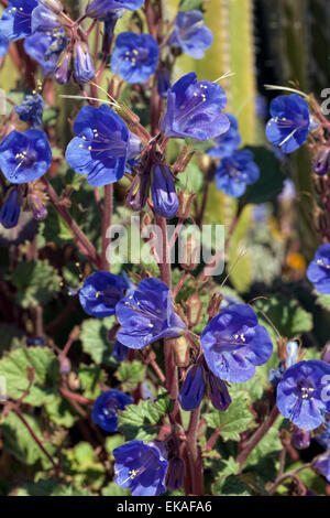 Desert Blue Bells - Phacelia campanularia - Stock Photo