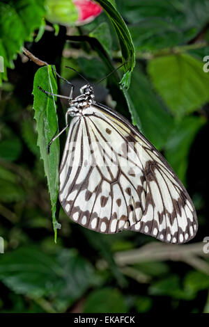 Paper Kite, Rice Paper, or Large Tree Nymph Butterfly - Idea leuconoe - Stock Photo
